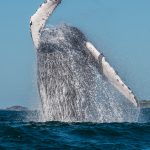 Coming Soon – Los Cabos Whale Watching Season